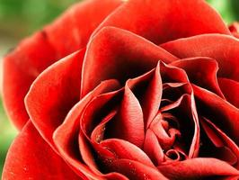 Red rose with dew drops on the petals.
