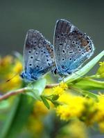 dos mariposas sentadas en una flor foto