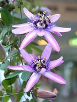 dos flores de la pasión foto
