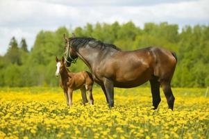 Broodmare with colt photo