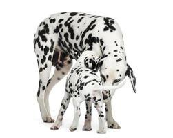 Adulto dálmata y cachorro oliéndose unos a otros, aislado foto