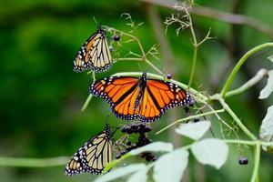 três borboletas em um monte