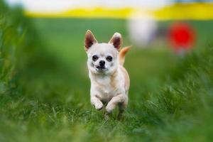 corriendo chihuahua foto