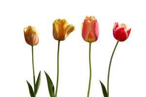 vier rode en gele tulpen