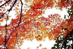 hoja de arce el clima de otoño