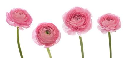 ranúnculo rosa pálido foto