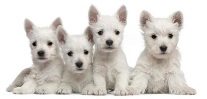 Four West Highland Terrier puppies, seven weeks old, white background.