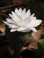 Blood Root Blooming