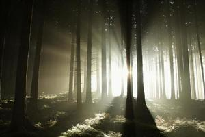 Misty sunny morning in the coniferous woods photo