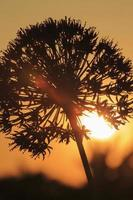 flor de allium retroiluminada por el sol poniente foto