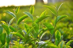 hojas de plantación de té