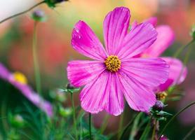flor del cosmos