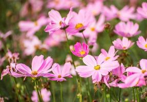 flor del cosmos foto