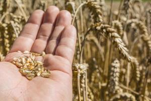 grano de trigo maduro en la mano contra las espigas foto