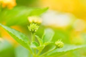 flores de verbenas