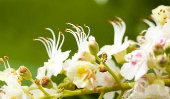 chestnut flower photo