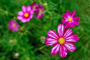 Cosmos flower photo