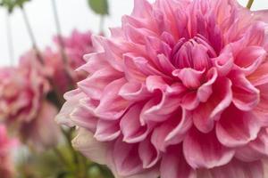 flores de dalia foto
