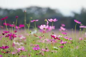 flores cosmos