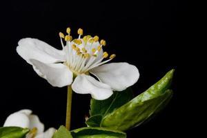 Plum flower photo