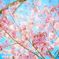 Sakura flowers photo