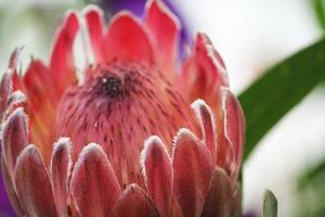 flor de protea foto