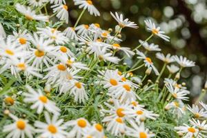 Flores blancas foto