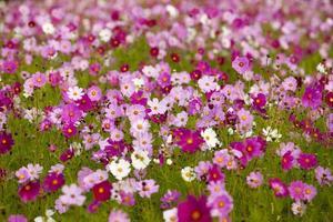 cosmos flower, photo