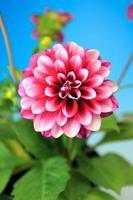 flor de la dalia foto
