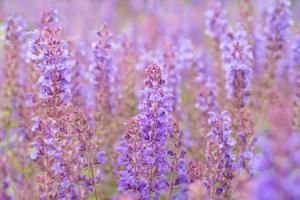 flores de sálvia