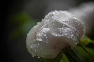FLOWER: close up white peony blossom, water drop, Jingshan, Beijing
