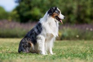 Adult border collie dog photo