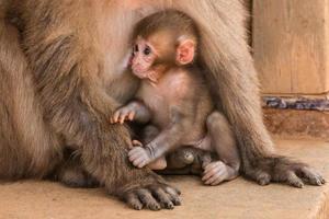 macaco bebé amamantando