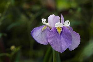 Iris, 'Enfant Prodige' photo