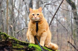 Red cat on a leash sitting on a felled tree photo