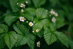 Wild strawberry plant with flowers photo