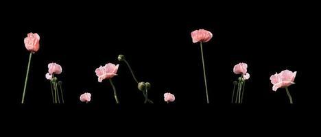 Pale salmon pink poppies photo