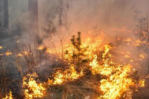 Forest fire in pine stand photo