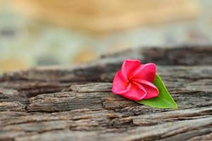 Pink Plumeria flower on a natural background.