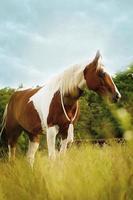 beautiful paint horse prancing running