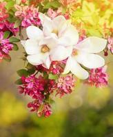 flores de magnólia em abril.