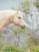 portrait of palomino stallion of quarterhorse breed. photo