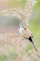 chapim-barbudo (panurus biarmicus)