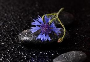 Stones for spa with water drops and cornflower photo