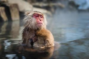 Japanese snow monkey in the hot spa,Japan. photo