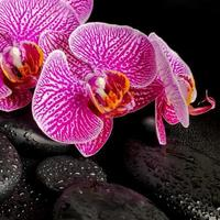 Beautiful spa setting of blooming twig stripped violet orchid