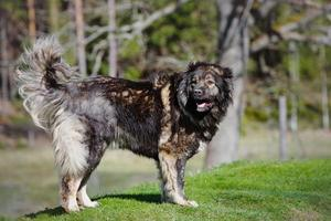 caucasian shepherd dog photo