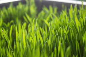 hierba de trigo foto