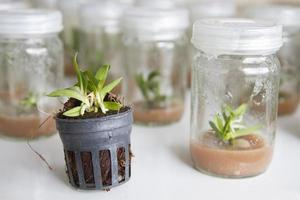 plant tissue culture orchid in thailand photo