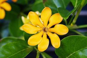 bovenaanzicht van de gouden gardenia bloem